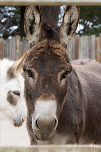 Pablo looking through the corral fence, with Luna in the background, at the Children's Zoo.  (Mediterranean Donkeys)
