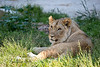 Cubby is growing up fast!  <br /> (African Lion, Jasiri)