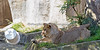 The bucket slips out from under Jasiri's paws. <br /> (African Lion)