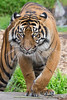 Jillian (Sumatran Tiger)