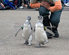 """""""Pip & Rennie"""" going full speed ahead during the March of the Penguins event.  (Magellanic Penguin)"""
