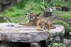 Sumatran Tigers, Jillian & Leanne.