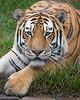 J.T. Bronevik (Siberian Tiger)