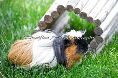 One of the Guinea Pigs near the Children's Zoo.