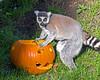 Pumpkin eyes.  (Ring-tailed Lemur)