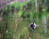 Mallard drake, swimming around the Lemur yard. (wild)