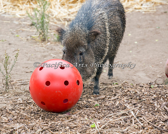 One of the Chacoan Peccaries, pushing her enrichment ball around, hoping for a treat to fall out.