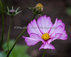 Another one of the stunning flowers planted by the Zoo Gardeners.  (I'm pretty sure this is a Cosmos bloom.)
