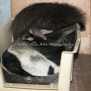 Every time baby Wayne moved, Evita would lift her tail.  (Giant Anteater)