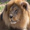 Jahari  (African Lion)