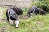 Little Wayne digs a hole, while mom, Evita takes a walk around the yard.  (Giant Anteaters)