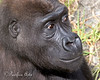 Juvenile Western Lowland Gorilla, Hasani.  He's about 7 1/2 years old now