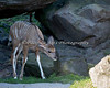 Greater Kudu calf, about 3 weeks old.