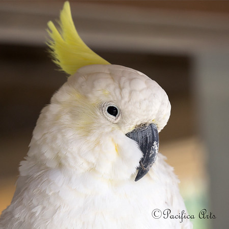 "Sulphur Crested Cockatoo, ""CeeCee"""