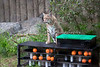 Inti looks like he's conquered his enrichment toy!  (Bobcat)