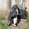 Mom strolls around the yard looking for critters, while baby sleeps on her back.  (Giant Anteater)