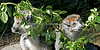 A couple of Crowned Lemurs nibbling on a branch of Coprosma leaves.
