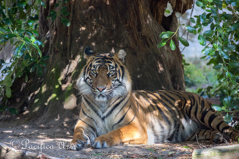 Princess Jillian at rest under her tree. (Sumatran Tiger)
