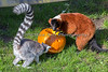 Ring-tailed Lemur and Red-ruffed Lemur look for hidden treats, during Boo at the Zoo.