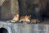 Mom & son, Sukari & Jasiri (African Lions)