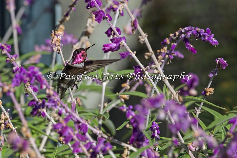 Anna's Hummingbird feeding off of the Salvia flowers.