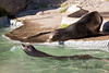 California Sea Lions, Henry (on land) & Silent Knight (in the water)