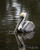 A striking Brown Pelican