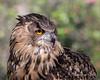 Athena, a Eurasian Eagle Owl