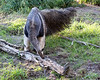 Giant Anteater, Wayne, looking for little critters in the crevices.  He's about 10 months old now, and almost full size.