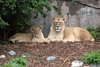 African Lions, Cubby & Sukari