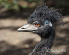 """Emu, """"Boomer""""  (Only his hairdresser knows!)"""
