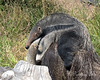 Baby Giant Anteater, Wayne, gets a ride on Mom's back.