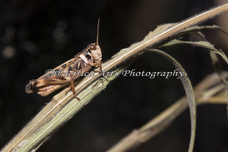 Here's a new face in the Insect Zoo - a Band Winged Grasshopper.