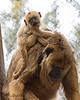 Baby is now big and strong enough to ride on mom's back.<br /> (Black Howler Monkey, Lincecum & new baby)