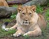 African Lion, Jasiri, growing in a beautiful mane!