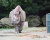 Female Black Rhinoceros, Elly