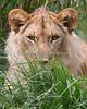One year old cub, Jasiri  (African Lion)