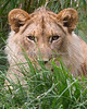 One year old cub, Jasiri  (African Lion)