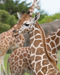 Baby Ingrid.  (Reticulated Giraffe)