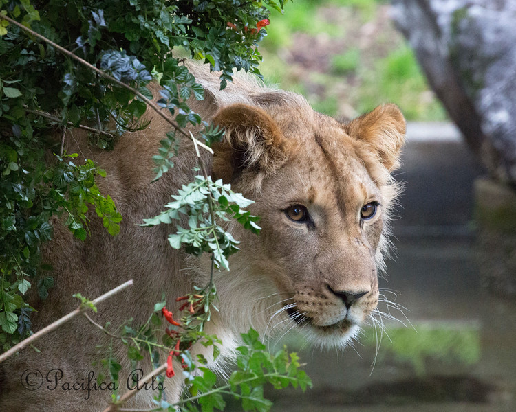 African Lion, Jasiri, about 16 months old.