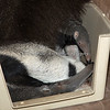 A kiss for mom.  (Giant Anteaters Evita & little Wayne)