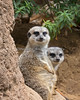 A couple of Slender-tailed Meerkats, in their favorite sunning spot.