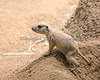 One of the little Prairie Dog pups, taking a peek of the outside world.