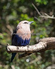 Blue-bellied Roller enjoying some sun in the African Aviary.