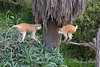 Little brother & big sister play tag around the tree.  (Patas Monkeys)