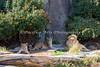 Family Portrait:  Jasiri, Sukari & Jahari (African Lions)