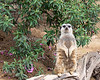 """ATTENTION!""  (Slender-tailed Meerkat)"