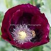 You have to love macro lenses!  (Honeybee is sitting on an Oriental Poppy)
