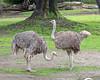 Ostrich - females
