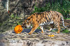 "Jillian gets the pumpkin rolling during ""Boo at the Zoo""....<br />   (Sumatran Tiger)"